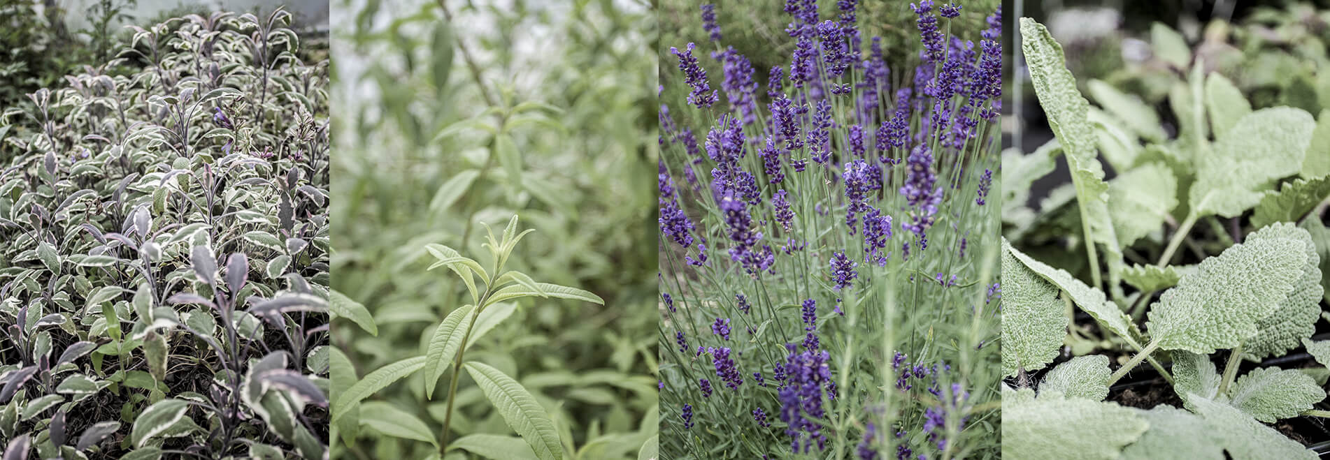 Photos of botanicals used in our gin